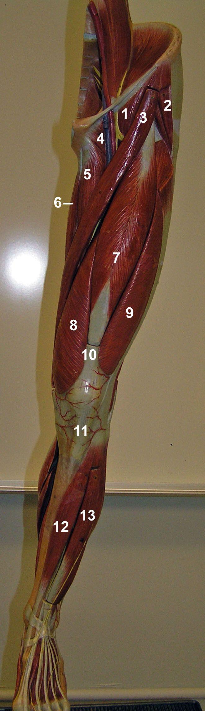 1 - Iliopsoas 2 - Tensor fascia Latae 3 - Sartorius 4 - Pectineus 5 - Adductor longus 6 - Gracilis 7 - Rectus femoris (vastusintermedius is deep) 8 -Vastus medialis 9 - Vastus lateralis 10 - Quadriceps tendon 11 - Patellar ligament 12 - Tibialis anterior 13 - Extensor digitorum longus