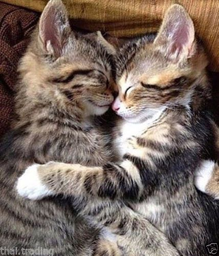 Funny Cats In Love Beautiful Animal Photo Fridge Magnet 2″x3″ Collectibles