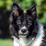 Kelsie    RMBCR | Ruff Mutt Border Collie Rescue | Who We Are