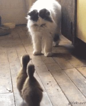 What happens when ducklings meet the cat. [GIF]
