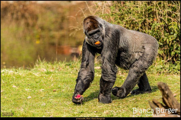 Zoo Berlin 2 - Gorilla #ZooBerlin #Zoo #Berlin #Deutschland #Germany #biancabuergerphotography #igersgermany #igersberlin #IG_Deutschland #IG_Berlin #ig_germany #shootcamp #shootcamp_ig #canon #canondeutschland #EOS5DMarkIII #5Diii #pickmotion #berlinbreeze #diewocheaufinstagram #berlingram #visit_berlin #Tiere #animals #monkey #gorilla #ape #menschenaffe