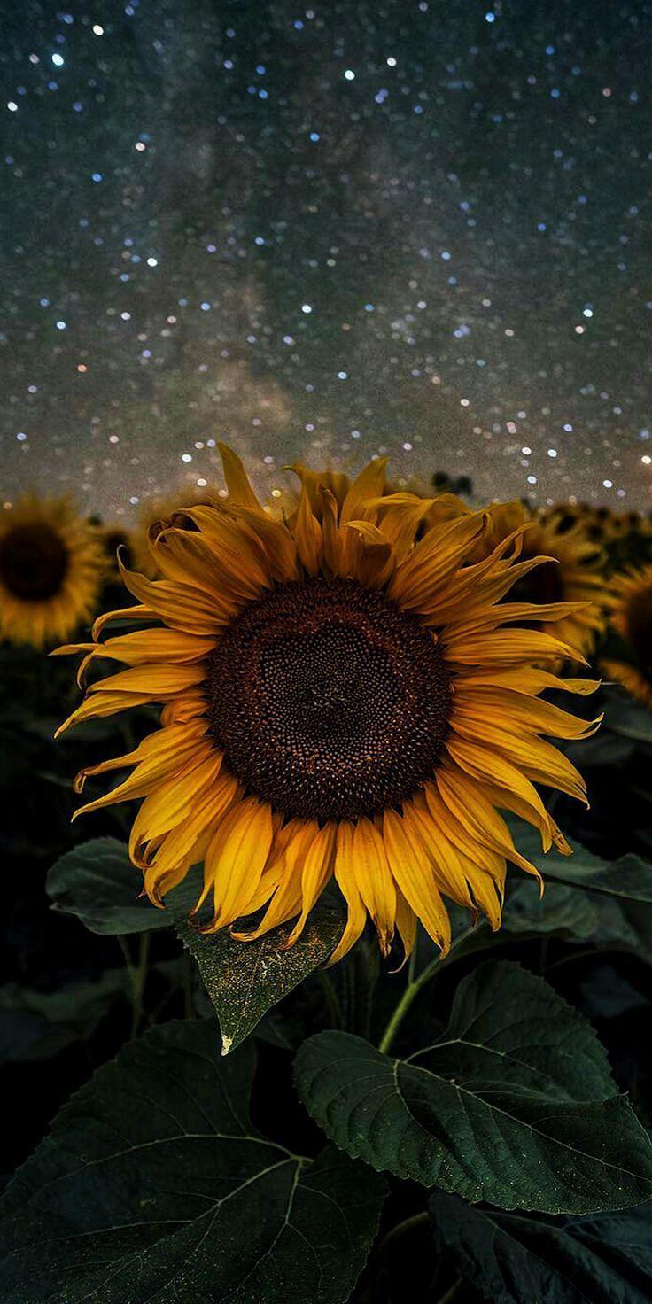 Sonnenblume #Tapete #Telefon #android #Hintergrund…