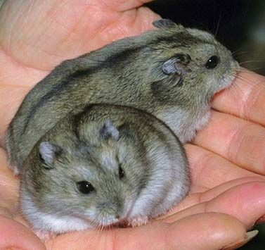 There are many different kinds of hamsters, but the five most common are Syrians, Dwarf Campbell Russians, Dwarf Winter White Russians, Roborovski Dwarfs and Chinese Hamsters.