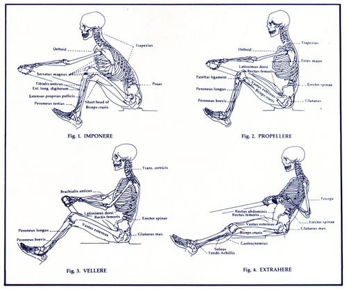 Anatomy throughout the rowing stroke