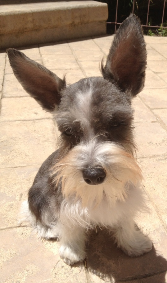Dog Names For Toy Schnauzers