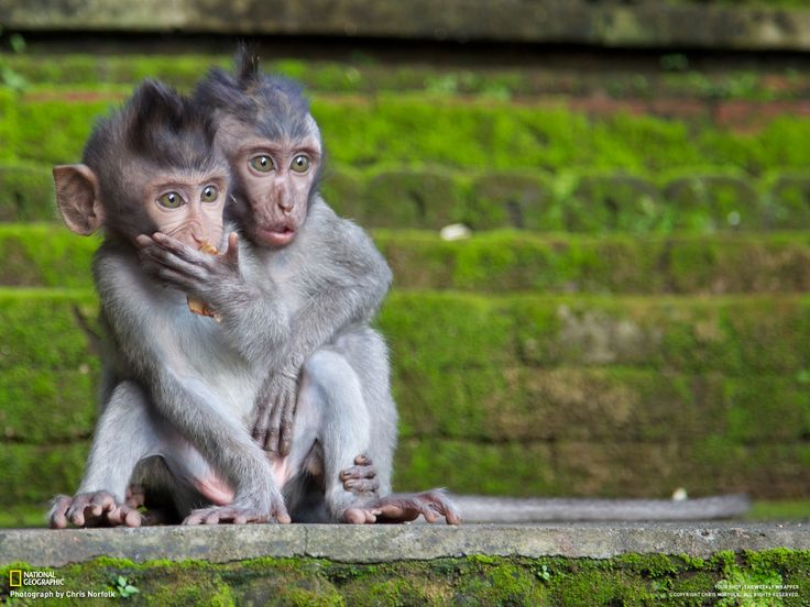 Candid capture by Chris Norfolk (Young Macaques looking on in disbelief as their mother chases away an assailant who was trying to steal their food)