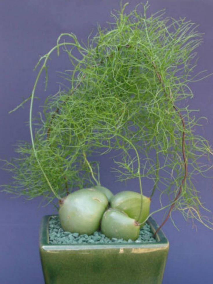 Bowiea volubilis – Climbing Onion, Zulu Potato → Plant characteristics and more photos at: http://www.worldofsucculents.com/bowiea-volubilis-climbing-onion-zulu-potato/