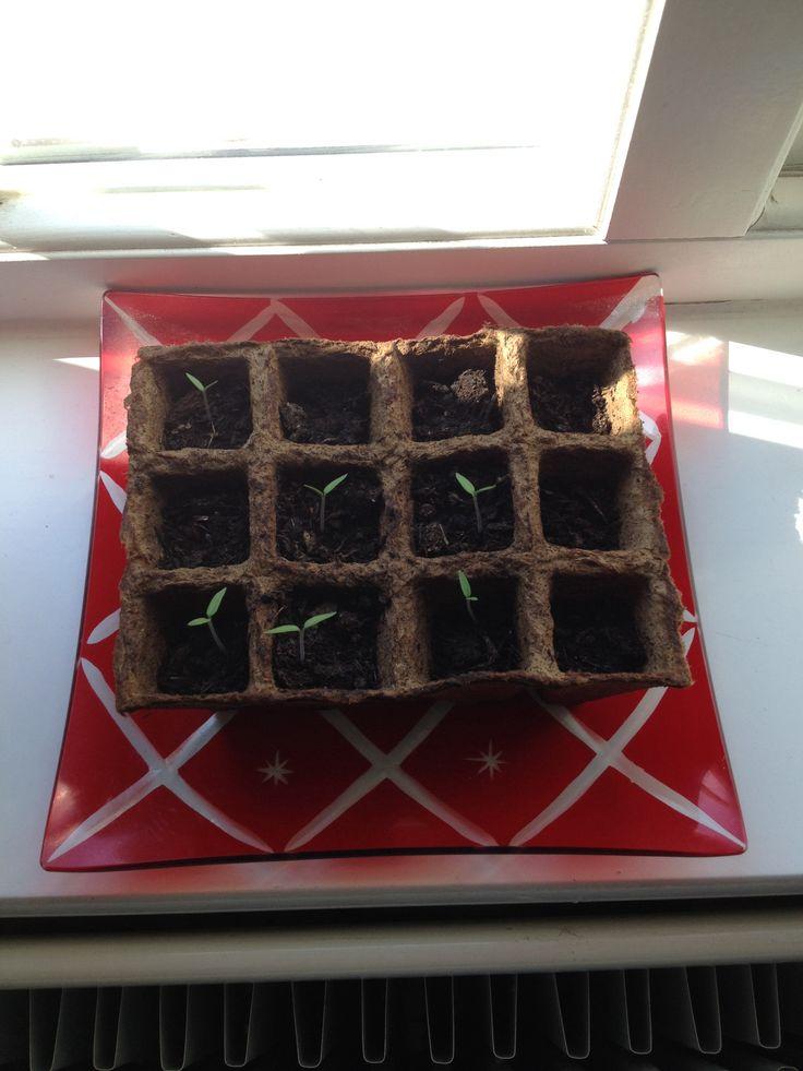 My baby tomato plants.