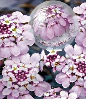 Winterharter Bodendecker Iberis Schleifenblume 'Pink Ice®', 2 Pflanzen | GartenXXL.de