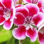 Geranien als Balkonblumen - Tipps und Pflege