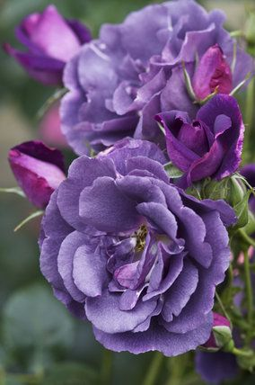 'Rhapsody in Blue' David Austin Rose - we've two of these.. One in the front  one out back!