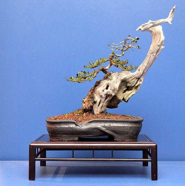 mejores 7 imágenes de bonsai en pinterest | bonsai, plantas y bonsais