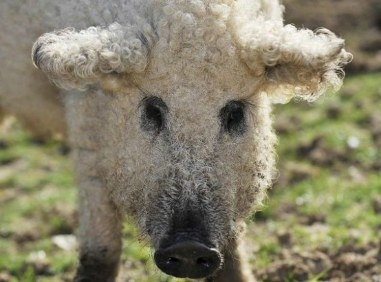 Wooly pigs!  Not only do they exist they are also cute.  I want one.