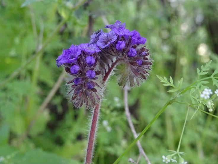 Phacelia pinnatifida - Cuncuna -  flora chilena