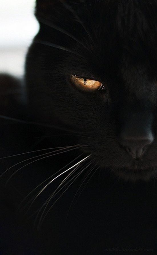 Noir cat golden eye