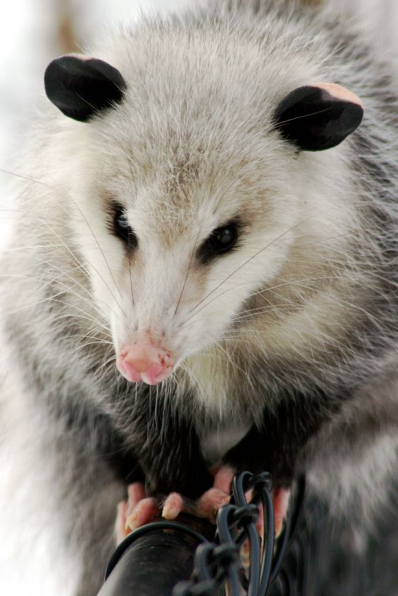 Critter and pest defense services always promote and protect trapping. The Opossum is 2 or 3 feet long and that is important to trap them, relocate them, and seal your home properly and they cannot enter your attic space again. Get in sequence: http://www.critterandpestdefense.com/services/opossum-trapping/
