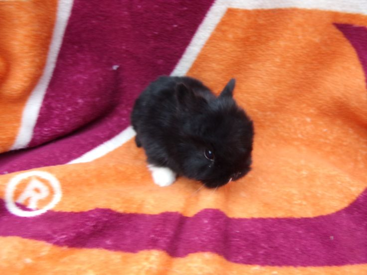 """Reserved for Becky (Pic 2 Front View of GAAF NDB3) GAAF NDB3 Netherland Dwarf Buck - Color: Black. Will be 8 weeks old and ready to leave home March 17, 2015. To reserve pm me or visit our website at getananimal.com & send me a request form through our """"Request & Directions"""" page. Cost: $30.00 non-pedigree $35.00 pedigree. GetAnAnimal Farms is a registered rabbitry with ARBA. Rabbitry #D4187"""