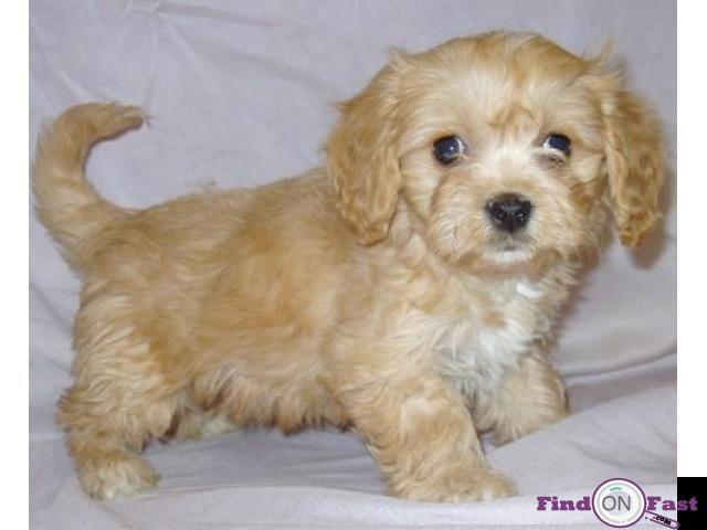 Lhasa Apso Pups For Sale In Delhi Lhasa Apso Pups Price In Delhi