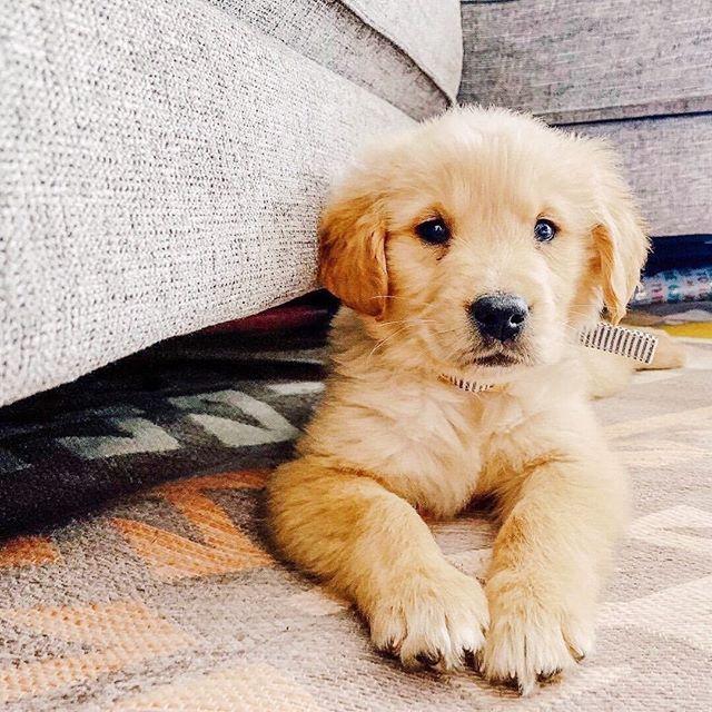 Love Golden Retriever Dog In 2020 Dogs Golden Retriever Dog Mommy Golden Retriever
