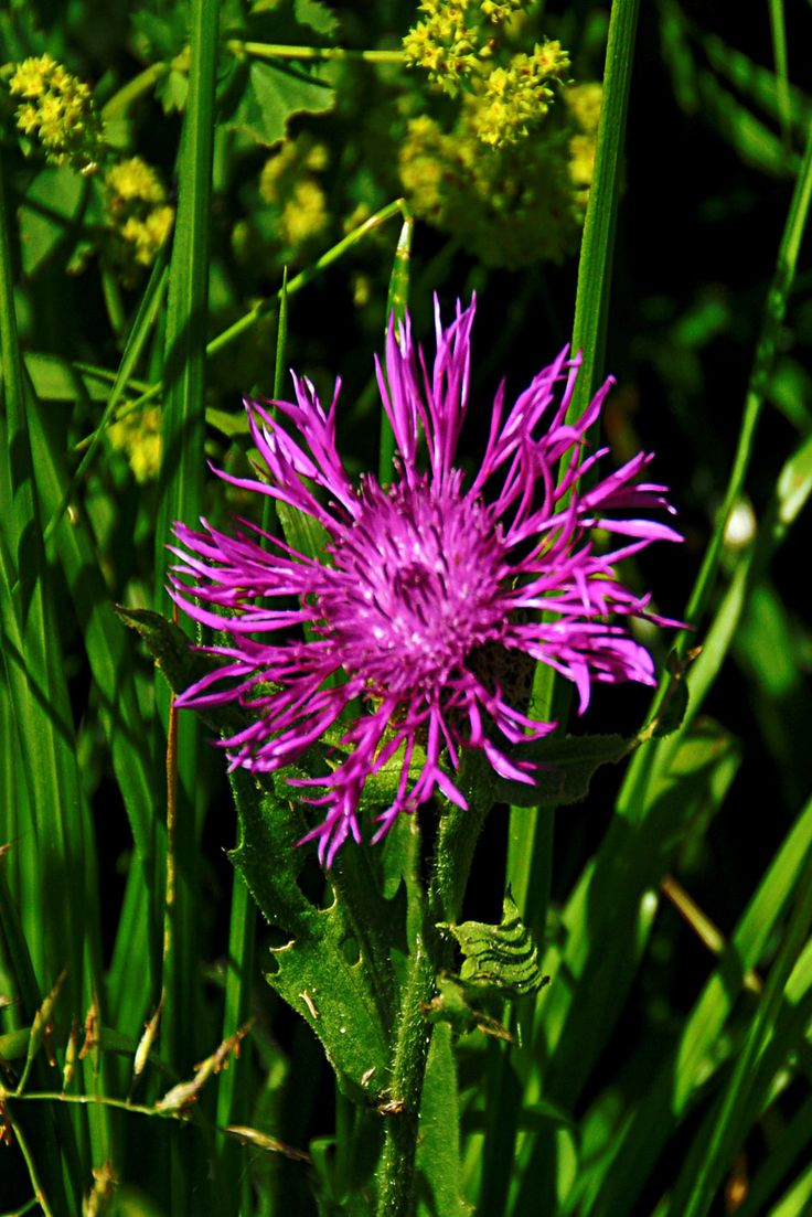 High Val Parma Forest  -  The Lagoni Mountain cornflower on Appennine Ridge