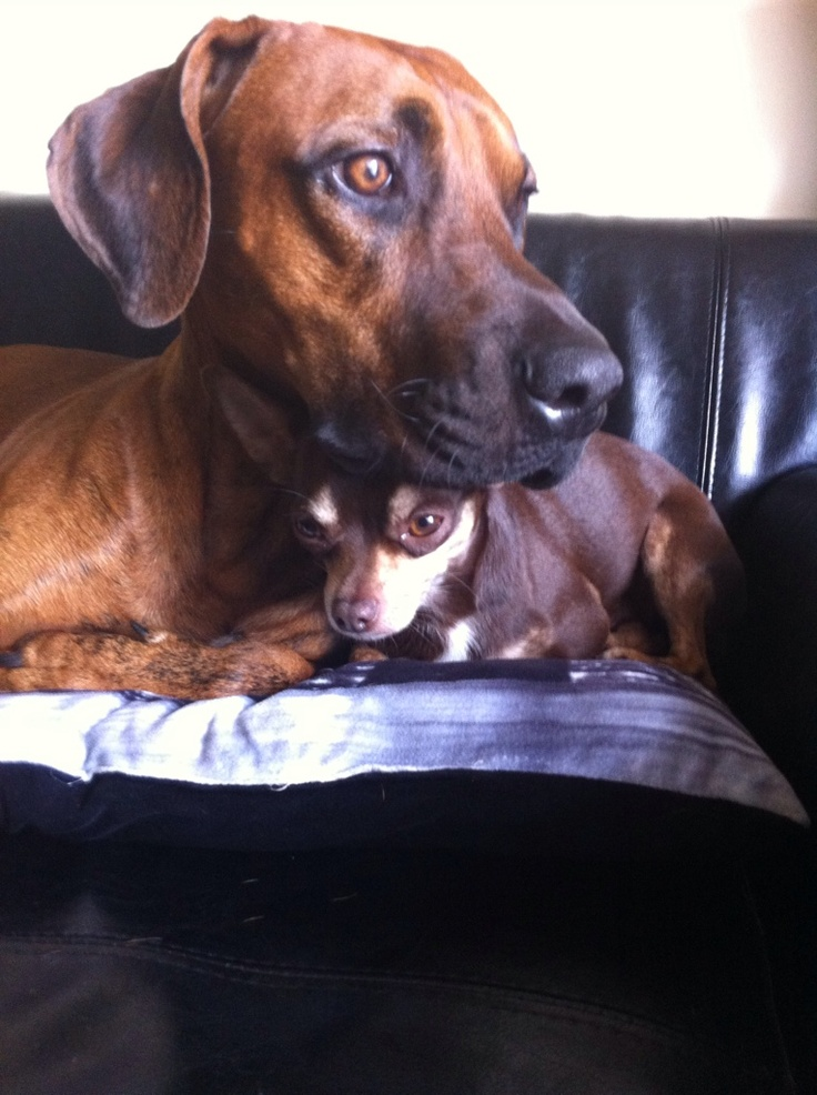 BOXER MIX WITH DOBERMAN and a small dog