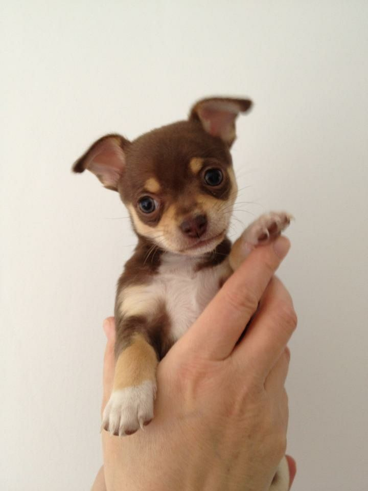 45+ Smooth Coat Chihuahua Puppies
