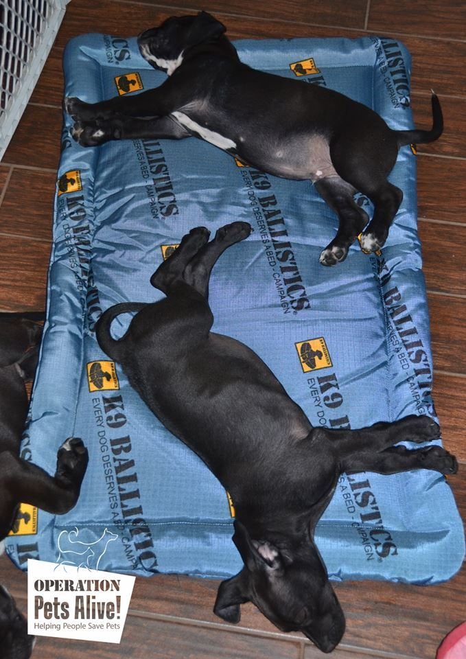 13 best every dog deserves a bed images on pinterest grandes camas two of the puppies settled on their donated tuff crate pad solutioingenieria Image collections