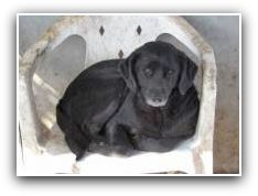Februari 2015  Micky is een zwarte mix, hij zou een labradormix kunnen zijn. Hij is 45 cm groot en geboren rond 1-5-2010. Hij is enorm enthousiast en een vrolijke viervoeter. Hij moet nog leren lopen aan de riem maar dat leren zal hem en zijn nieuwe baasje alleen maar dichter bij elkaar brengen. chipnr 528246002076431