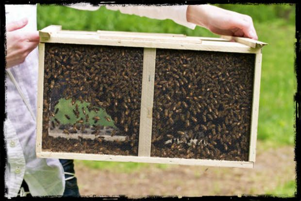 Buying Bees: Starter Colonies for Beekeeping Beginners - SHTF Preparedness