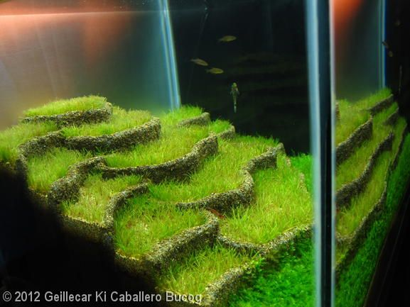 I was thinking of doing a rice patty design, now that I see it done I am glad I did not, it is a lot of work and I would want more in the end...  2012 AGA Aquascaping Contest - Entry #368 ricefields