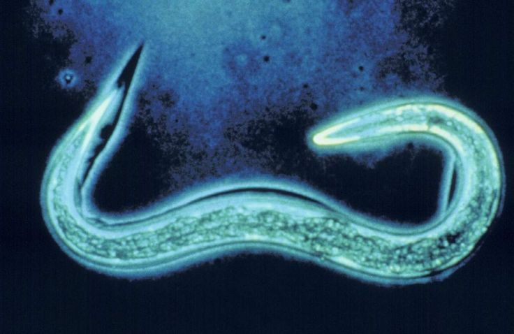 10 Best Phylum Nematode Images On Pinterest Insects Worms And