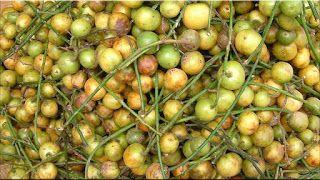 gambar buah menteng