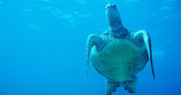 """Animales nativos de las islas hawaianas. Debido al grado de aislamiento, las islas hawaianas tienen un característico catálogo de animales. Aunque algunos animales han sido llevados a las islas por anteriores colonizadores, Hawaii se vanagloria por el hecho de que cerca del 90 por ciento de sus animales son """"endémicos"""", es decir, que son únicos pertenecientes a las islas hawaianas y no ..."""
