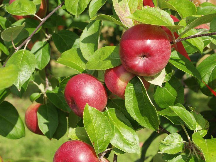 Malus domestica Juuso, vintersort. Nytt finskt äpple. Trädet växer svagt och brett med raka grenvinklar.  Frukten mognar i början av oktober. Äpplena är stora, fina och nästan helröda. Bör lagras minst ca. 1 månad. Hushållsäpple med lätt aromrik syrlighet. Hållbarhet: 4-5 månader. Bild: Taimistoviljelijät