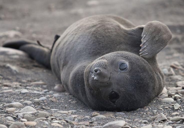 Filhotes de leão-marinho, Pescadero, EUA: o Año Nuevo State Park, localizado em Pescadero, na Califórnia é considerado a maior colônia em terra de leões-marinhos.