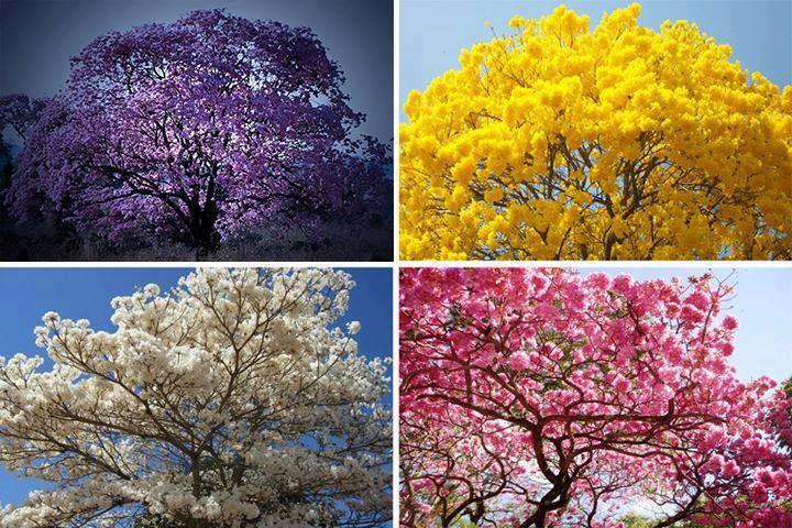 ipe roxo, amarelo, branco e rosa