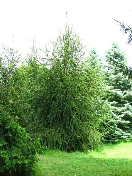 original spruce trees picea abies cranstonii or cranston spruce or picea abies virgata. Black Bedroom Furniture Sets. Home Design Ideas
