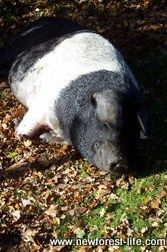 Our favourite New Forest pig R.I.P.