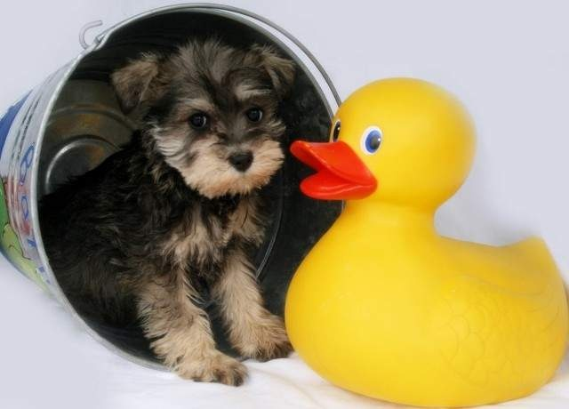 If I were this tiny schnauzer pup, I'd be freaked out by the giant rubber ducky too.