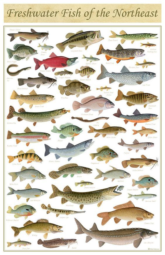 Freshwater Fish of the Northeast Poster - 11x17 inch print by Matt Patterson - fishing print, cabin decor, fish poster