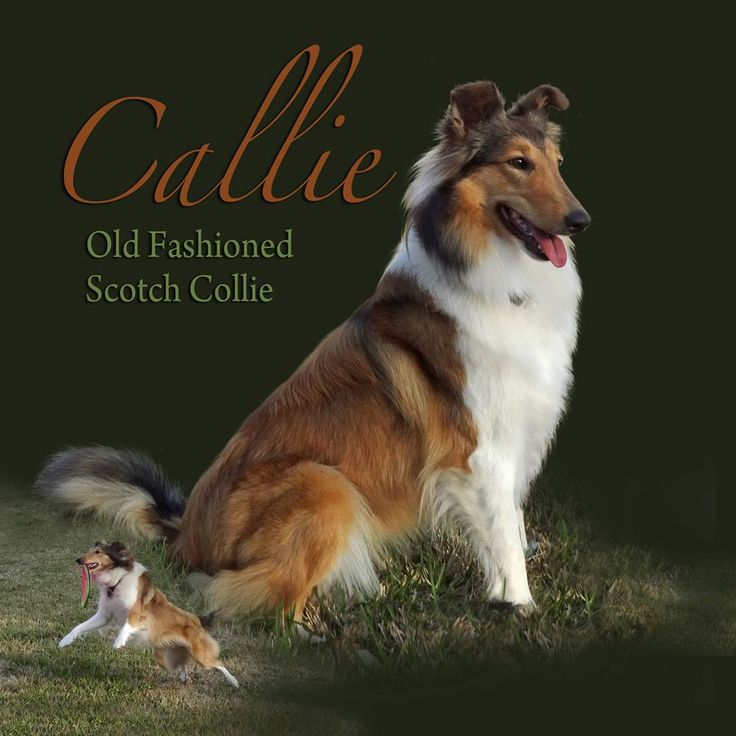 Old Time Scotch Collie - Six Pense Farms Christmas Callie. It's Cindy's dog!