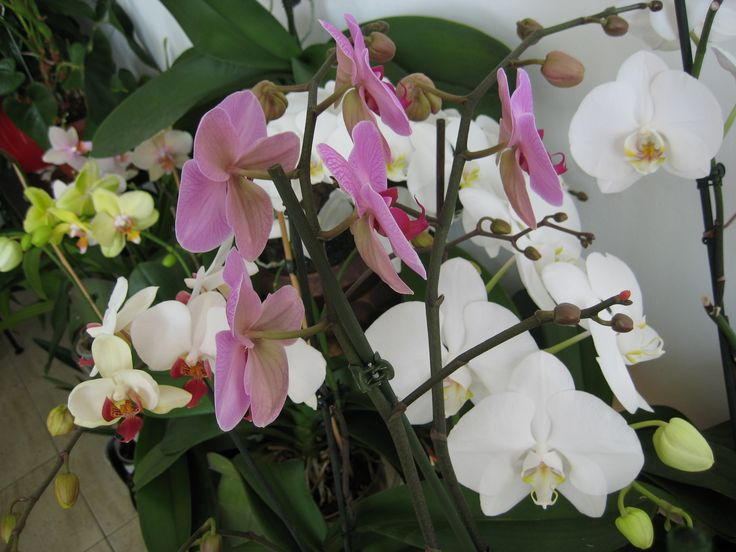 Phaleno orchids