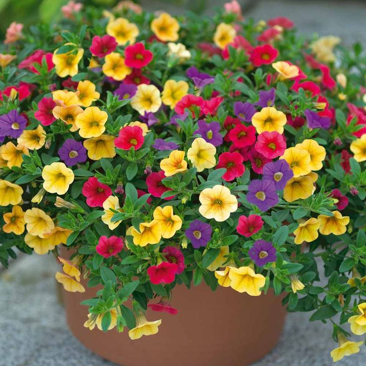 Mini Petunia 'Celebration Carnival' Mixed. This mix looks great. Need to plant a pot of these.