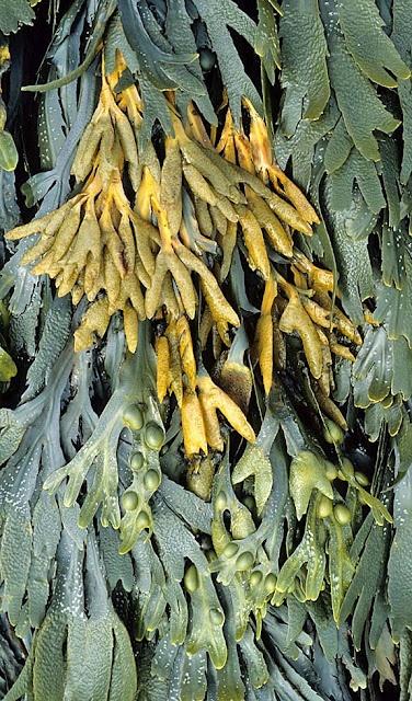 Hierbas para adelgazar fucus seaweed