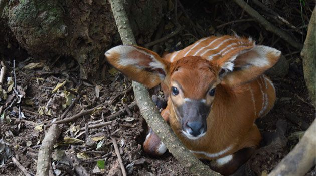 NAIROBI, Kenya, Aug 7 - Global efforts towards the survival of the critically endangered Mountain Bongo antelope, have received a boost following four birt - Kenya breaking news | Kenya news today | Capitalfm.co.ke