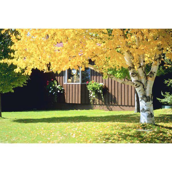 Diez árboles perfectos para tu patio  Arce