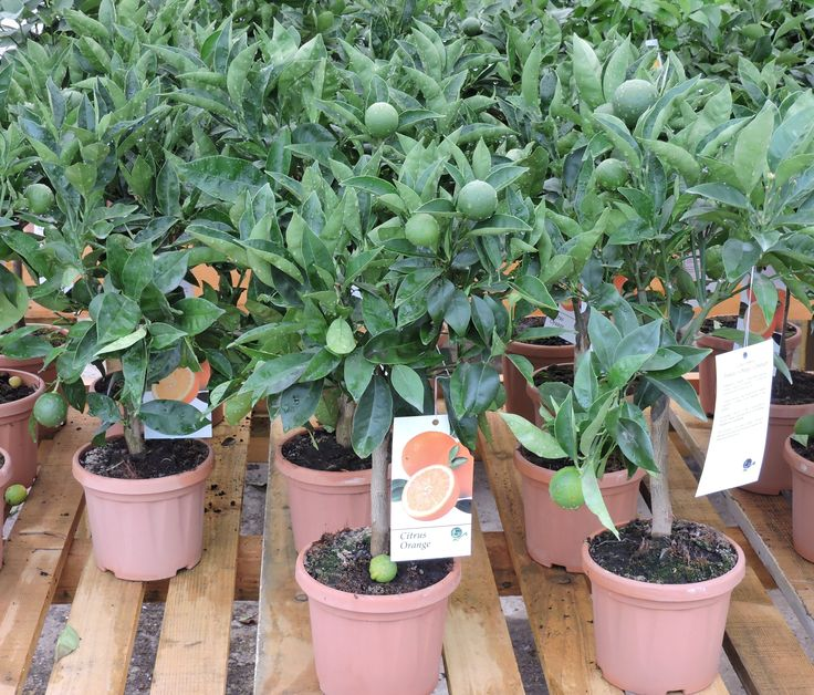 Oranges in fruit, 50cm+ height, 2ltr decopot