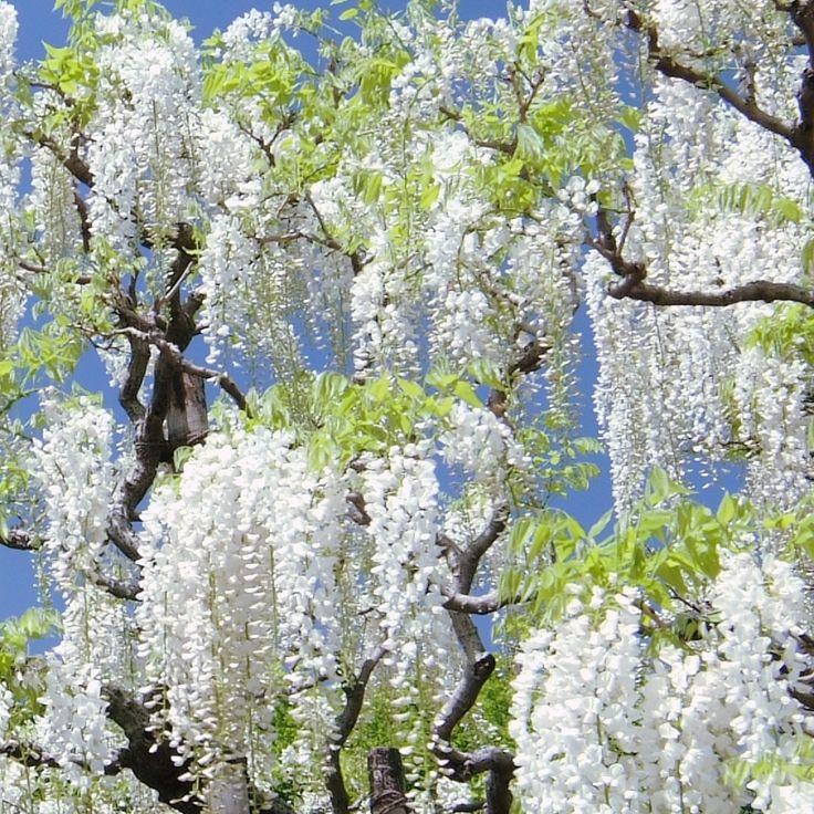 Wisteria Vine White Price 9 95 Flowers N Garden
