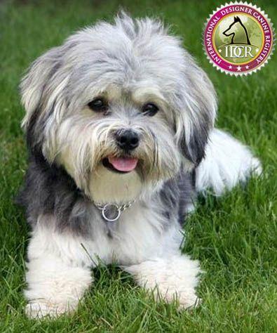 Havapoo Information and Pictures - International Designer Canine Registry