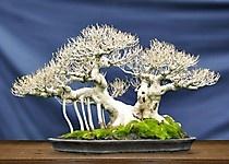 Kimeng-Ficus Microcarpa, 47 cm Ppbi Korcab Bali